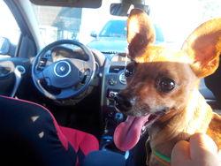 Loulou, chien Pinscher