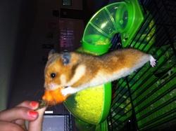 Loulou, rongeur Hamster