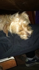 Loulou , chien