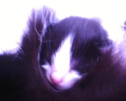 Loulou, chat Européen