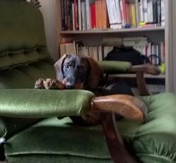 Loulou, chien Teckel