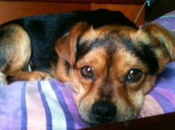 Loulou, chien Pékinois