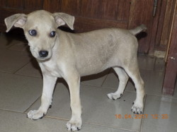 Loulou, chiot