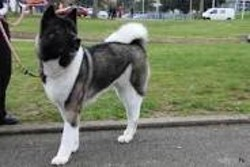 Loulou, chien Akita américain