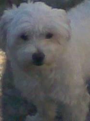 Loulou, chien Coton de Tuléar