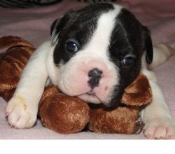 Loulou, chien Bouledogue français