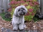 Loulou, chien Shih Tzu