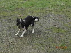 Loulou, chien Border Collie