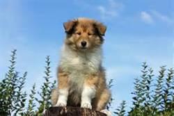 Louloutte, chien Colley à poil long