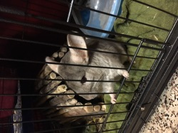 Louloutte, rongeur Chinchilla