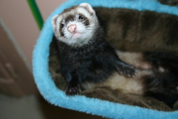 Louloutte, rongeur Furet