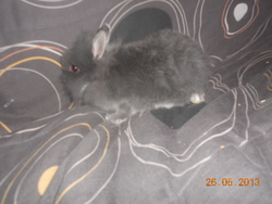 Louloutte, rongeur Lapin