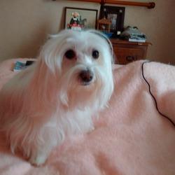 Loumie, chien Coton de Tuléar