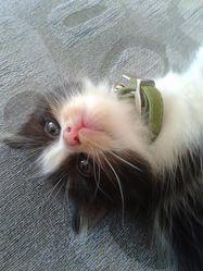 Loumie, chat Angora turc