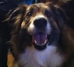Louna, chien Berger australien