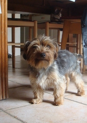 Louna, chien Yorkshire Terrier