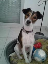 Louna, chien Fox-Terrier