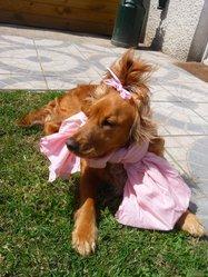 Louna, chien Cocker anglais