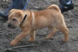 Louna, chien Shar Pei