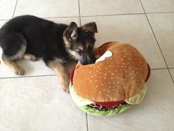 Louna, chien Berger allemand