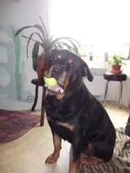 Louna, chien Rottweiler