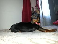 Louna, chien Pinscher