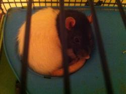 Louna Au Paradis, rongeur Rat