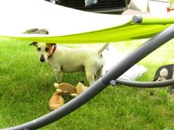 Louna, chien Jack Russell Terrier