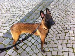 Louna , chien Berger belge