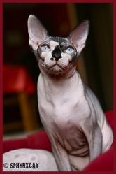 Louna, chat Sphynx