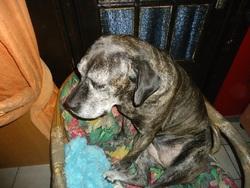 Louna, chien Cane Corso
