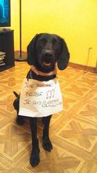 Louna, chien Braque allemand à poil court