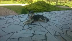 Louna, chien Husky sibérien