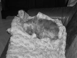 Louna, chien Yorkshire Terrier