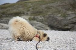 Louna, chien Épagneul tibétain