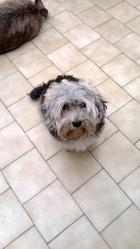 Louna, chien Dandie Dinmont Terrier