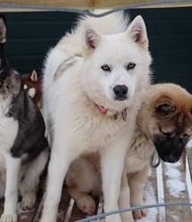 Louna, chien Chien du Groenland