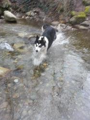 Louna, chien Malamute de l'Alaska