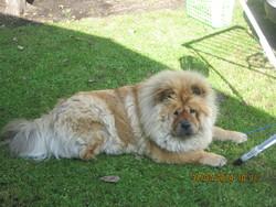 Louna, chien Chow-Chow