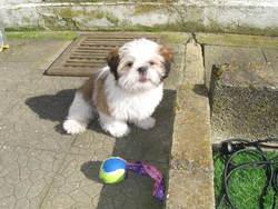 Louna, chien Shih Tzu