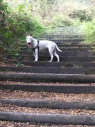 Louna, chien Bull Terrier