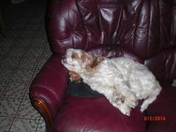 Louna, chien Cocker américain