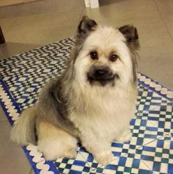 Louna, chien Spitz allemand