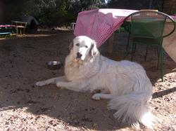 Louna, chien Chien de montagne des Pyrénées