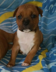 Louna, chien Staffordshire Bull Terrier