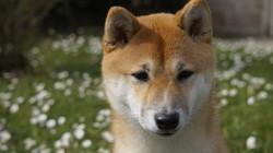 Louna, chien Shiba Inu