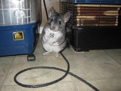 Louna, rongeur Chinchilla