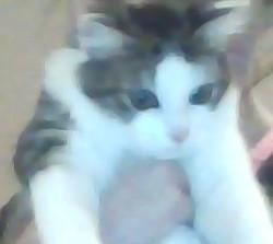 Louna, chaton Angora turc