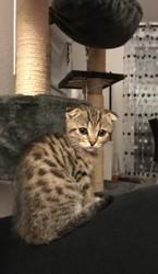 Louna, chaton Bengal