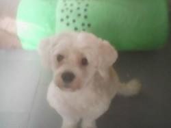 Louna, chien Bichon à poil frisé